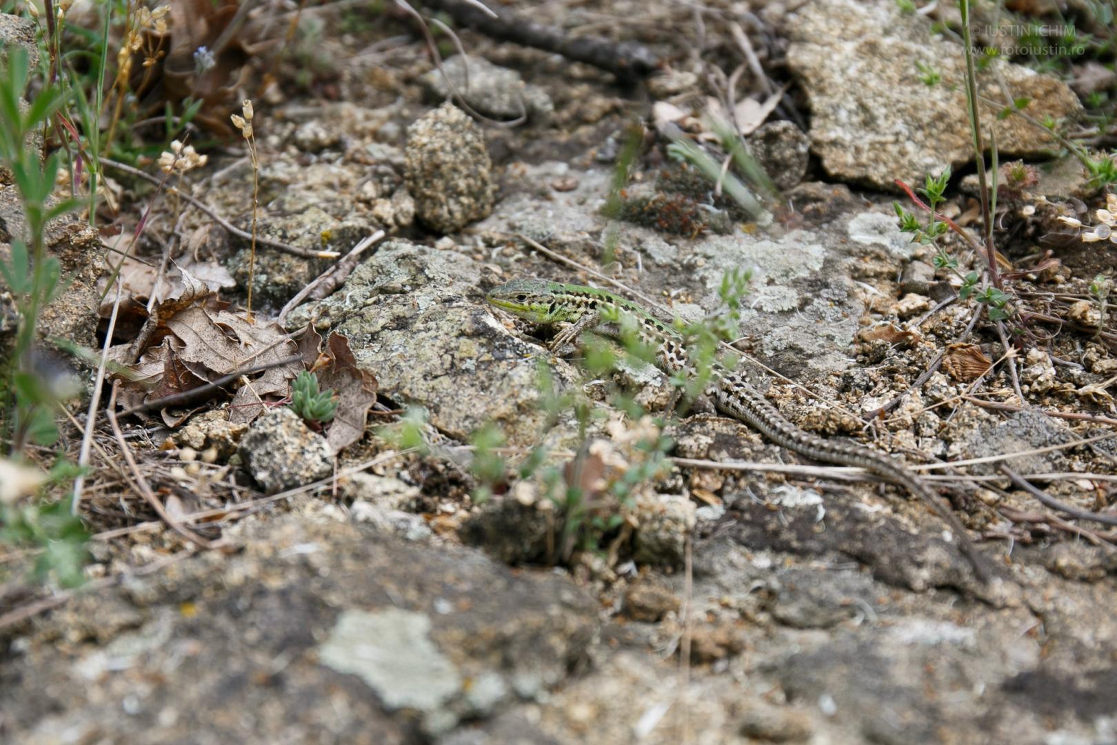 Șopârlă in Muntii Măcin