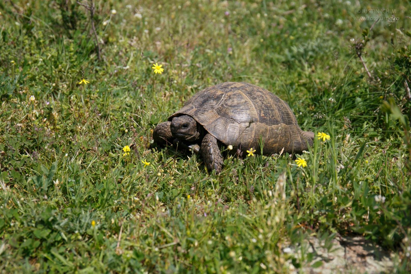 Broasca țestoasă, in Măcin