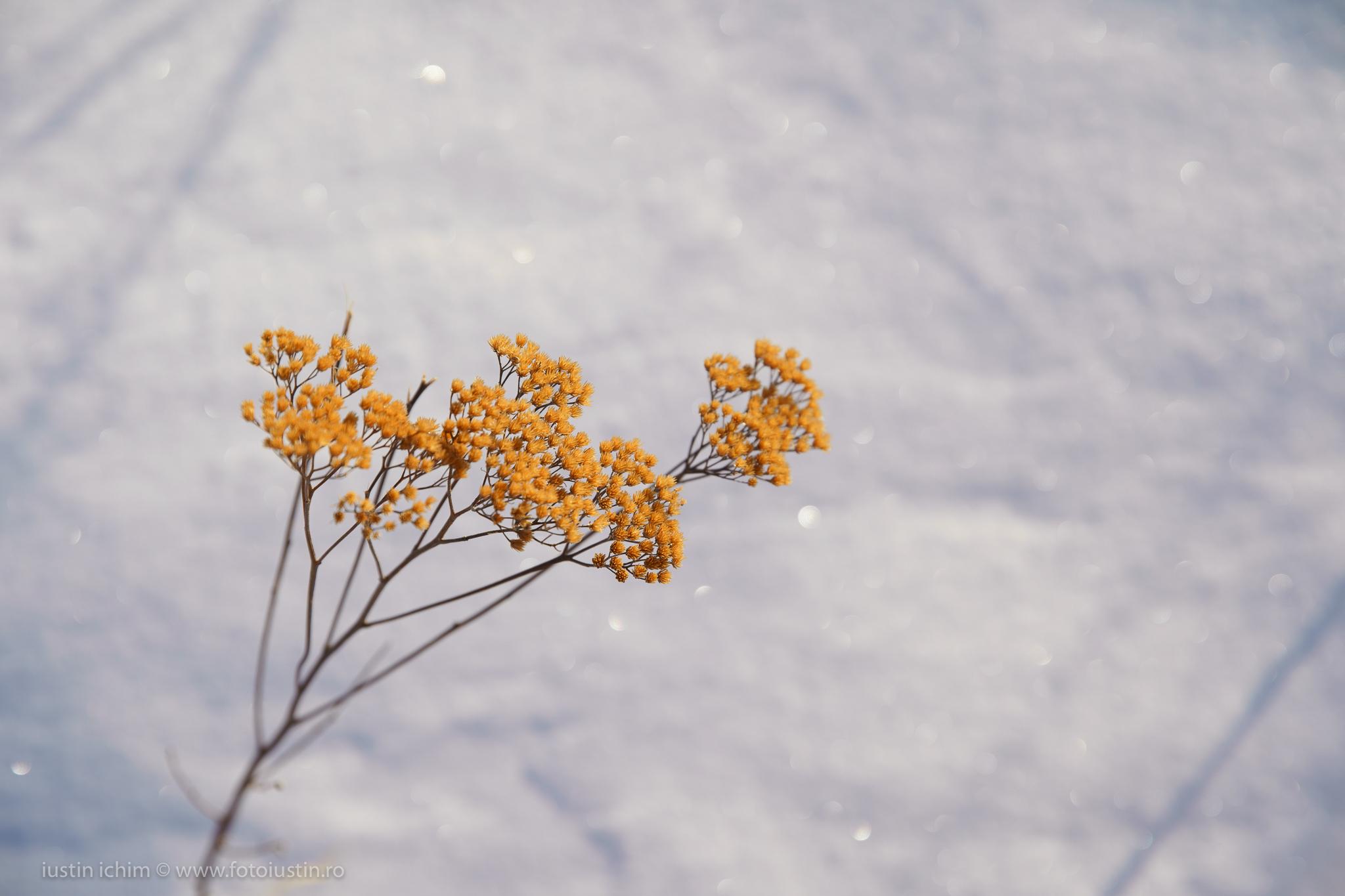 floare pe zapada