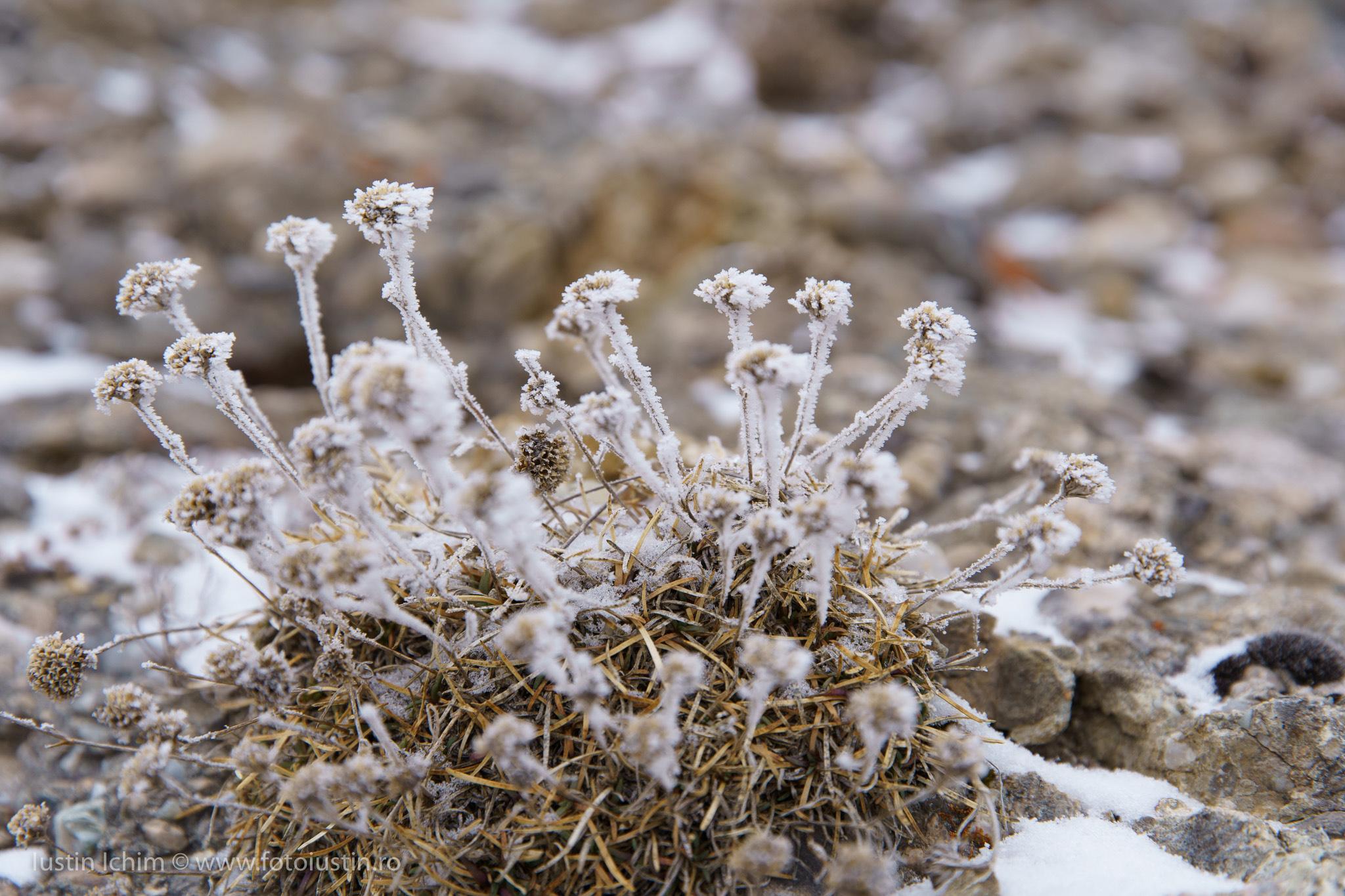 Flori de munte inghețate