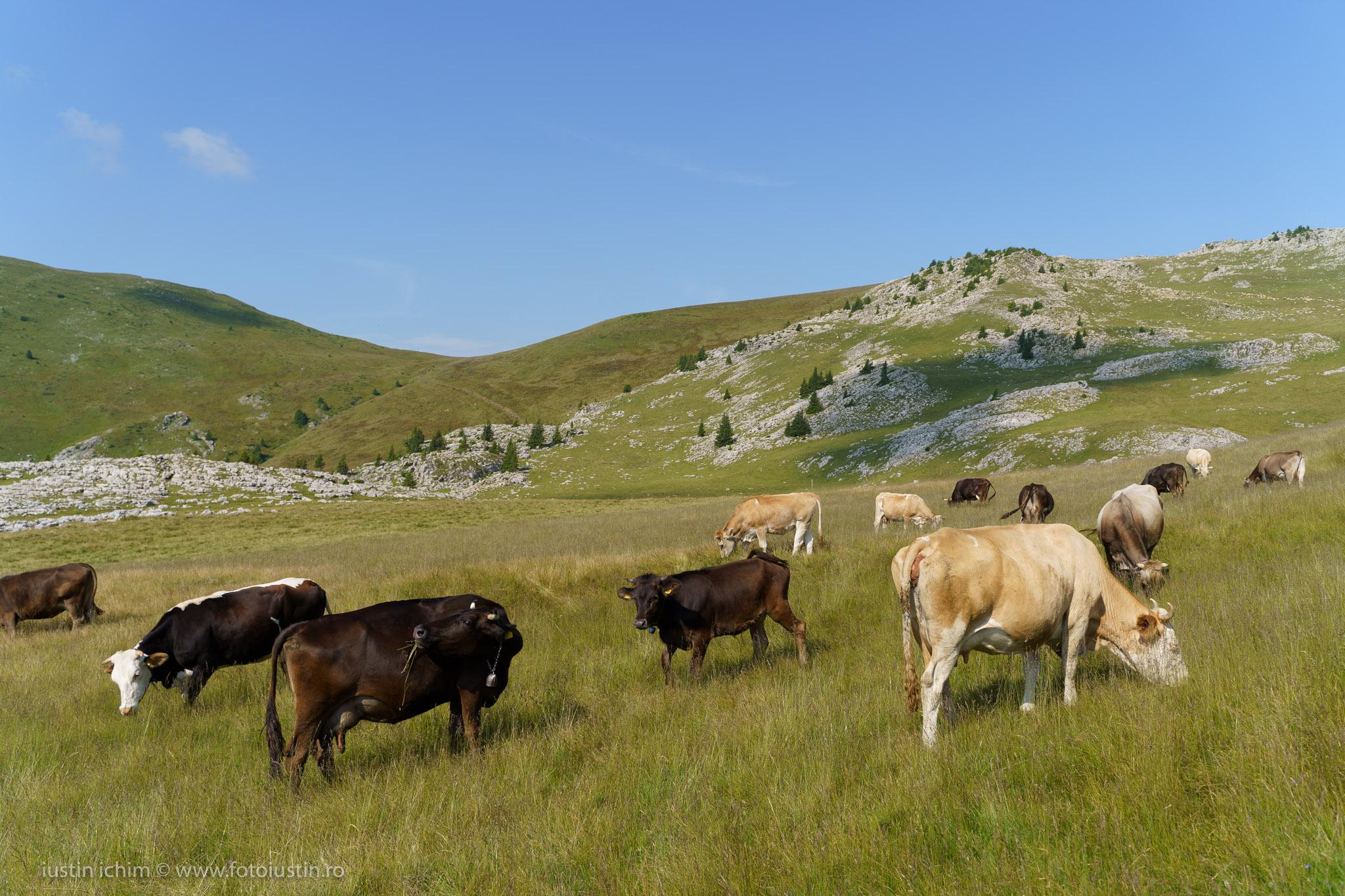Cireada de vaci in Bucegi