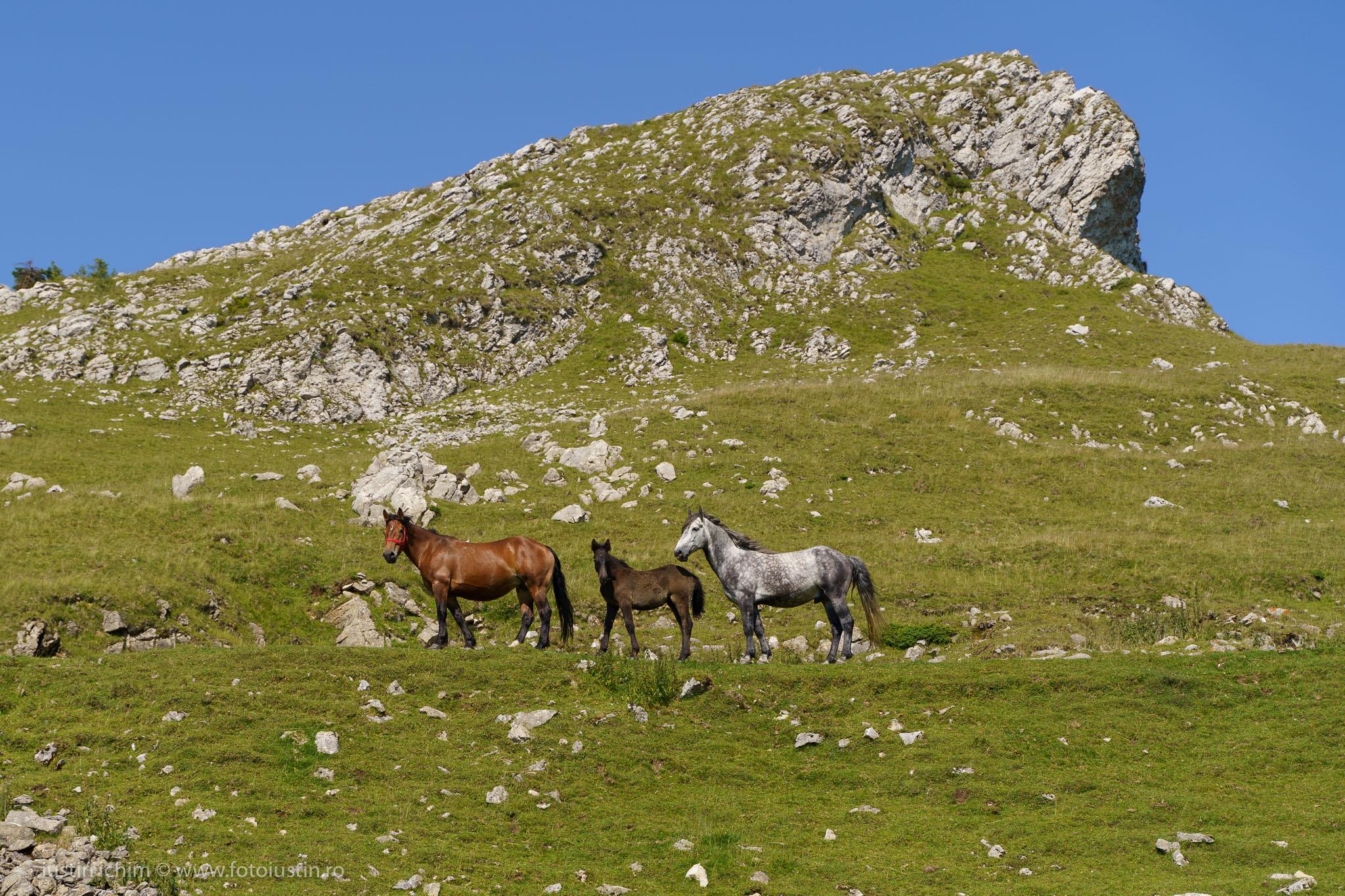 Tataru, Bucegi, familie de cai