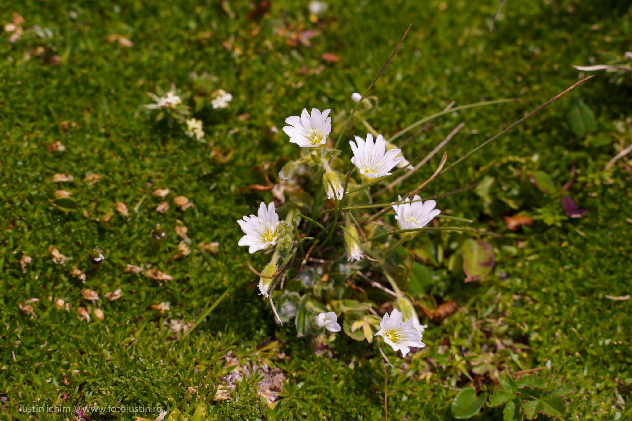 flori Bucegi