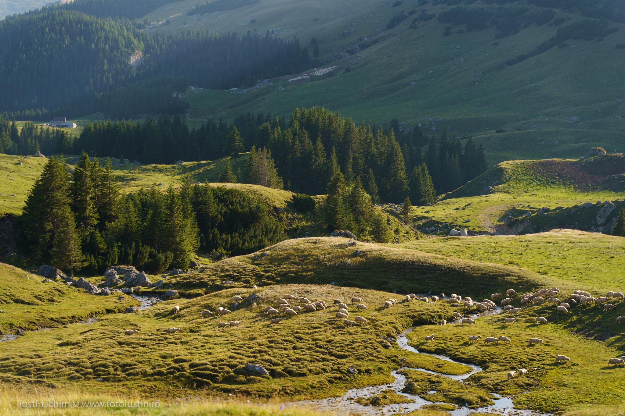 Peisaj Râul Ialomița si turma de oi