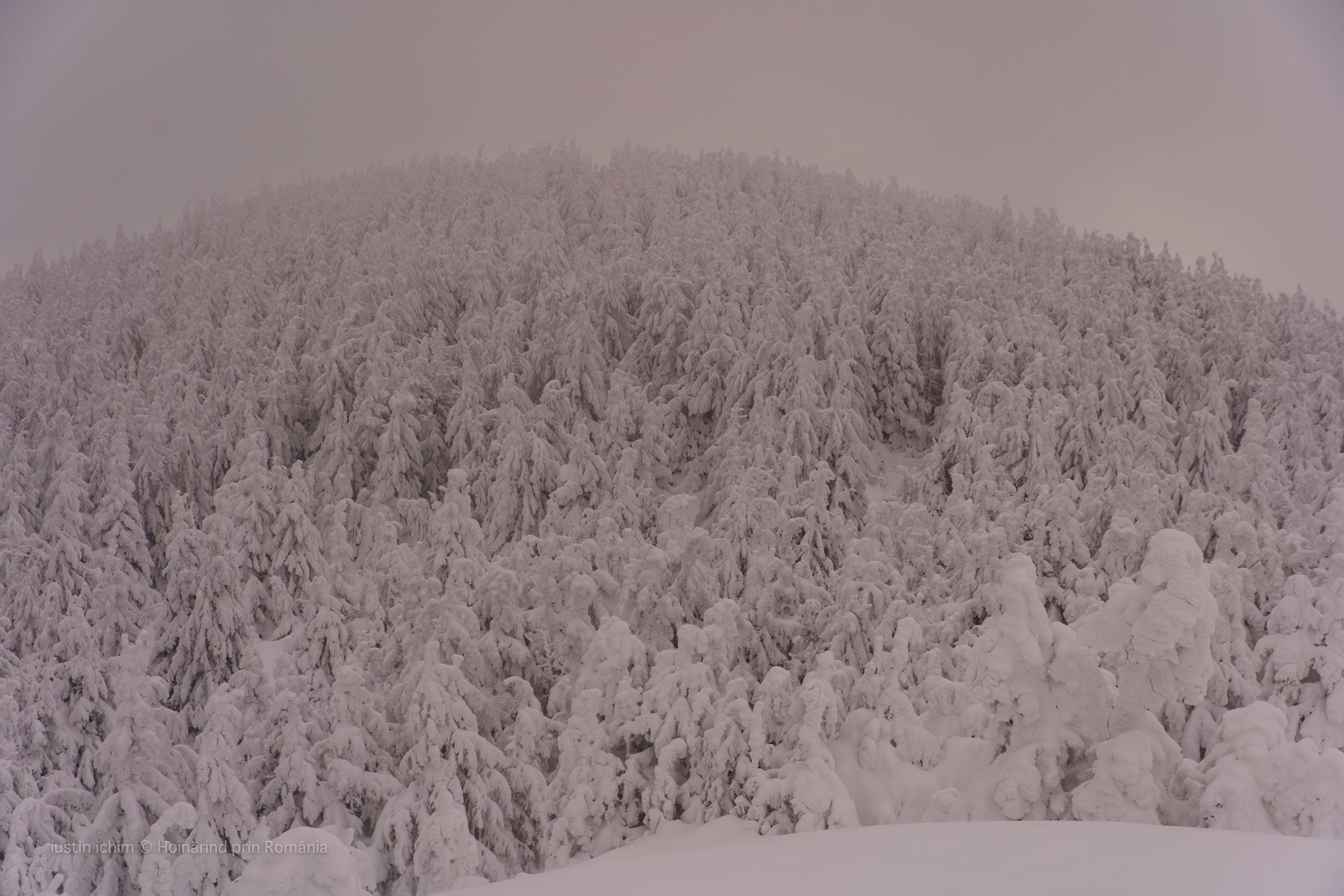 Peisaj de iarnă, brazi acoperiți complet de zăpadă