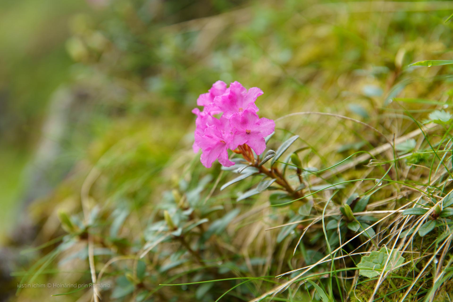 Rhododendron L., Trandafir de munte, Bujor de munte, Azalee in Munții Făgăraș