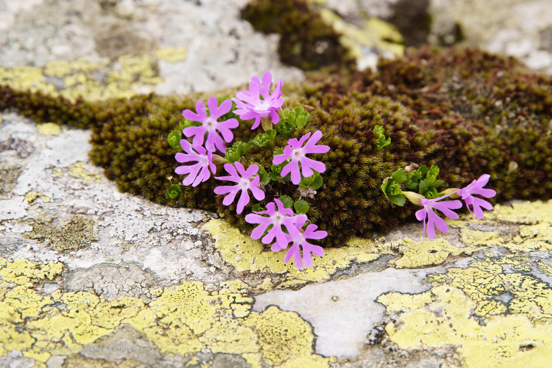 flori Fagaras