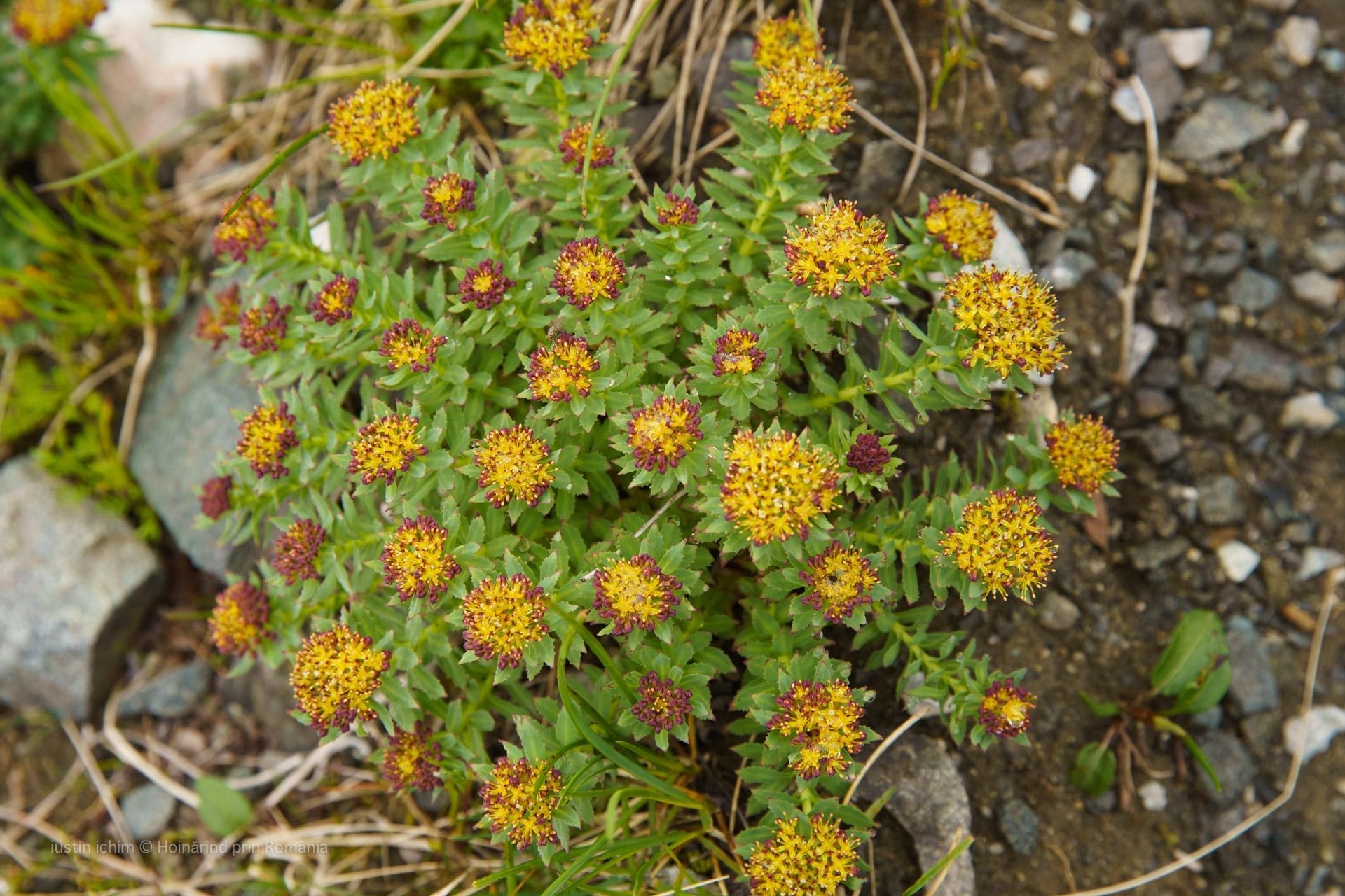Rhodiola rosea, planta medicinala, partial comestibila